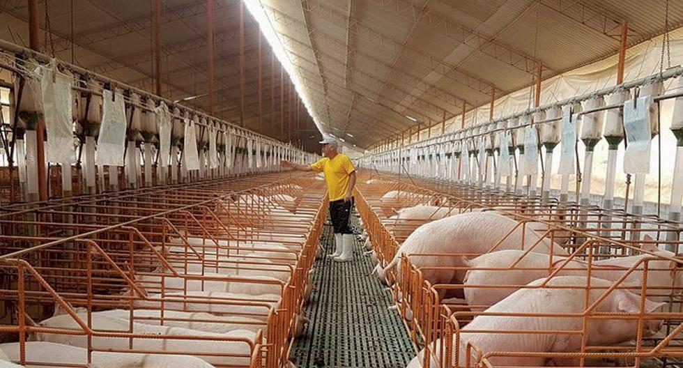 Presidente de ADOGRANJA afirma carne de cerdo es 100% segura para consumo en la población